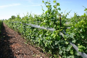 The low trained vines of Prince Edward County