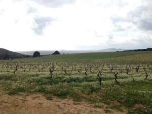 The old vines and the sea