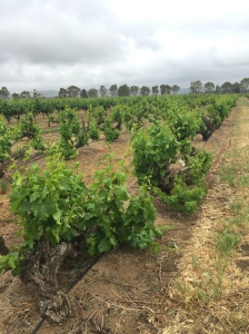 100+ year old bush vine Grenache in Barossa